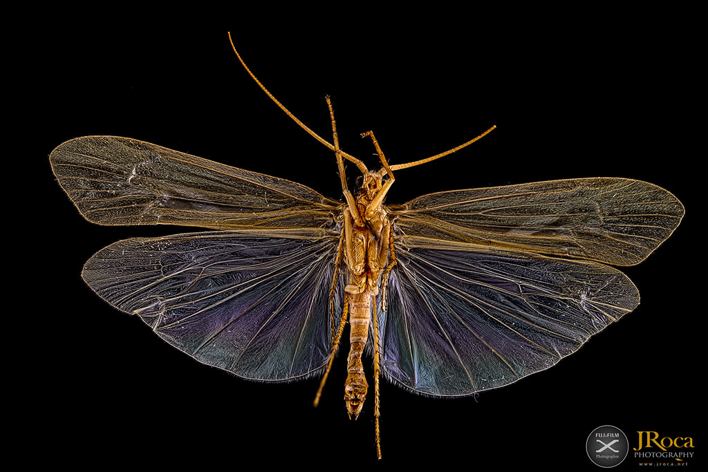Trichoptera. UCME - 35686