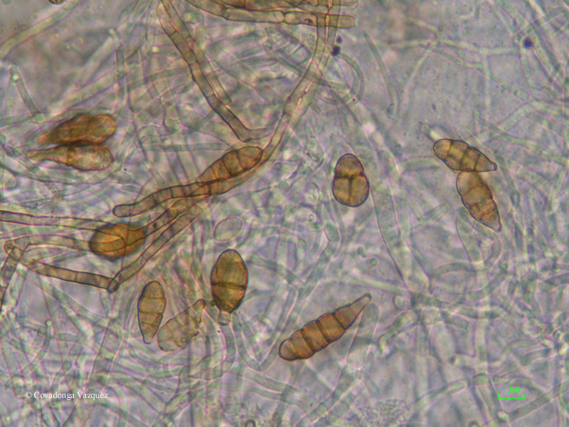 Alternaria spp.