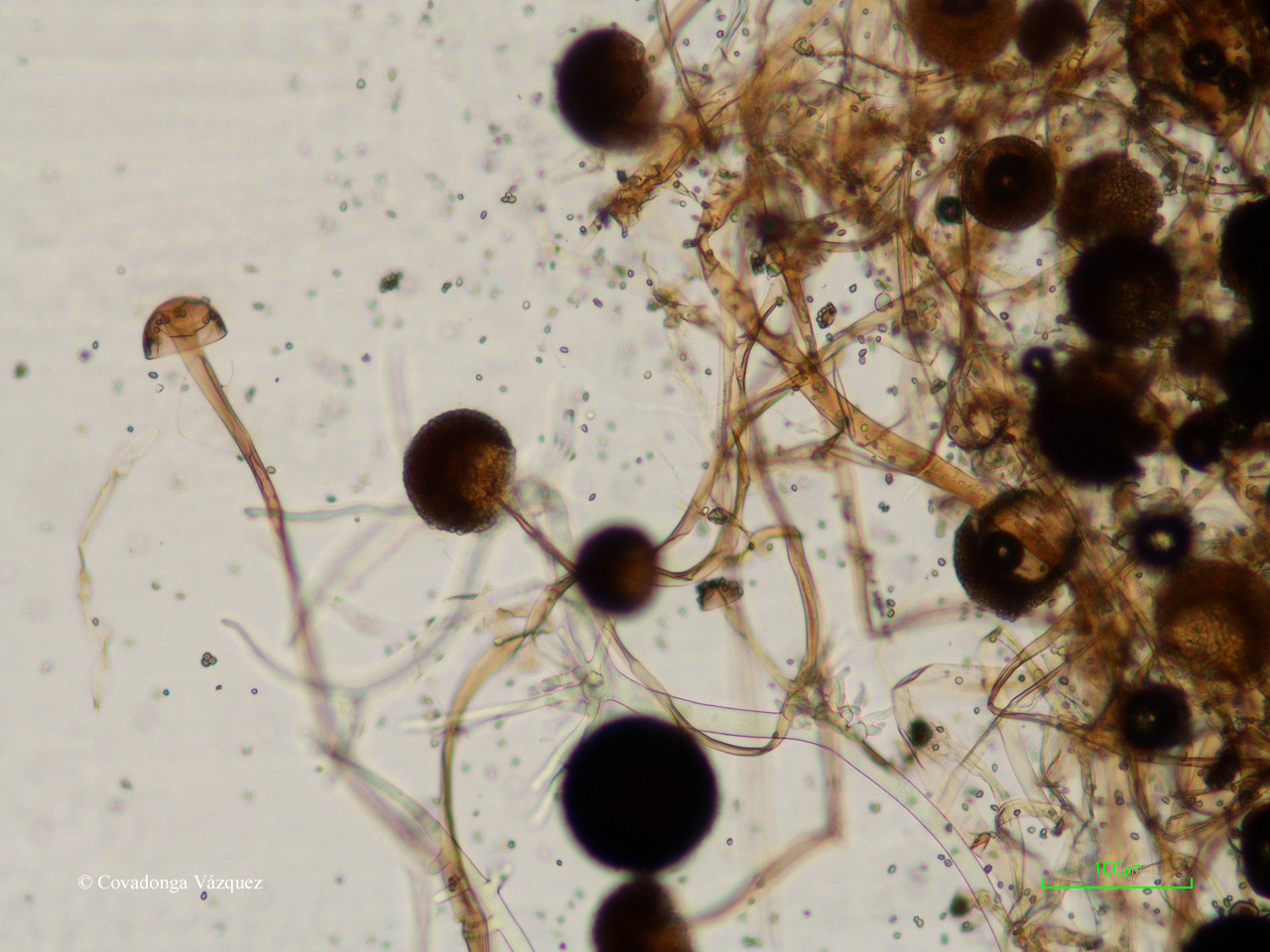the fungus rhizopus stolonifer  nondestructive method to model the growth and discrimination of spoilage  fungi, like botrytis cinerea, rhizopus stolonifer and colletotrichum.