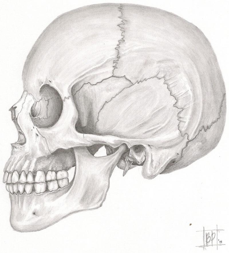 Dorable Anatomía Cráneo Lateral Modelo - Imágenes de Anatomía Humana ...