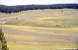 Pradera (Yellowstone)