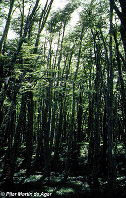 Bosque de Nothofagus
