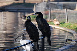 Phalacrocorax carbo sinensis (Linnaeus, 1758)