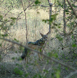 Chacal (Canis mesomelas)