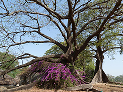 Ceiba (Senegal-Cap Skiring)